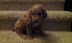 Mid-Sized Golden Doodle Puppies for Sale. Both mom and dad are Golden Doodles and non Shedding. Mom Weighs 45 pds, dad weighs 35pds and has a medium frame. Both are non-shedding. Ready to go to new homes December 15th. 778.230.2897 This ad was posted with