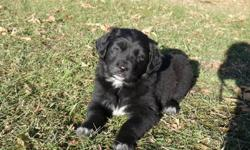 I have 3 Golden Retriever/Border Collie puppies that are ready to go to good homes.  The mom is purebred Golden Retriever and the dad is purebred Border Collie.  They all have great dispositions and temperaments, and are used an abundance of children play