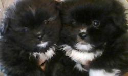 Adorable puppies for sale.  2 BoShihs (Boston Terrier x Shih Tzu) and 6 Shiranians (Shih Tzu x Pomeranian).  Raised in my home and very well socialized with all ages.  Puppies will be vet-checked, first shots and de-wormed before going to their new homes.