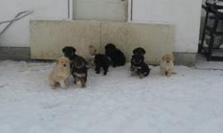 We have 3 cute and adorable golden retreiver cross shepherd puppies for sale.they are ready to go to a new home just in time for Christmas.we are approx half an hour north of winnipeg on no. 8 highway. if interested call us or email. 2 females and 1 male.