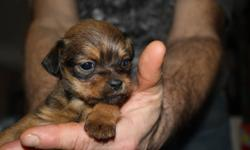 one male and one female puppies for sale  ,mom is shih-tzw and dad is pug and dachound