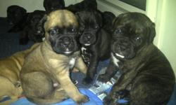 Precious male and female bullmastiff puppies needing new homes. Fawn, brindle chocolate brown and black. Viewing by appointment only. 3 spoken for already, so don't miss your chance to own one of these adorable puppies. $900.00 obo