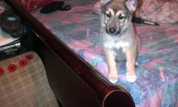 king shep and huskey mix one girl and one boy born oct 29 6479091772