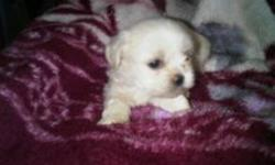 SHITH ZU PUPPIES FOR SALE  READY TO GO TO A NEW HOUSE PLEASE CALL OR TEXT (905)962-4305