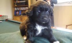 Rare EskiCavaPoo Pups, 1 Black white tipped toed&collar female and one male. The pups are so, so cute. Have wavy, hardly shedding hair since mixed with poodle and easy to train! Comes with vet exam, first shot, toy and blanket. Ready for pick up 1st week