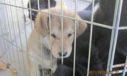 Labrador retriever mix with husky. $75.00 each. 2 left one female and 1 male left. Mother husky and father is labrador retriever.Will be ready to go around the 20th of october. Contact me at 450 533 0035.