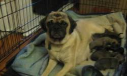 3/4 pugg puppies they will be ready just in time for Christmas what a great Christmas present they eat puppy food and we are paper training them 400 vet checked first shots and dewormed NO FLEAS or 300 with nothing call to come see these cute puppies
