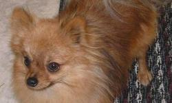 BOOKER 1 year old male red in color trained for in house 4.6 lbs / 6 inches in height   NO EMAILS PLEASE   CALL 204-434-6910