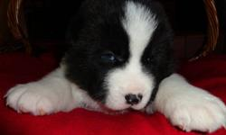 Only 1 female left She is Black and white, She will get her first shot and be dewormed, If you are interested contact ED at 204-332-0435 If you want to see pics of parents visit our website at http://www.boundarytrailkennels.ca Thanks.