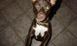This is Rusty, he is a 6 month old brown rat terrier with a great personality. He loves everyone and is very playful, he is not very yappy either which is great. He has a very expensive down coat as well, for he gets very cold outside. I don't have a lot