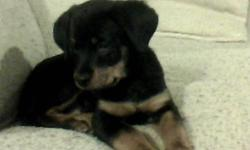 I have a pure bread Rotti puppy for sale.  She is 9 and a half weeks old.  Very beautiful puppy.  Very friendly and loves kids and other pets.  Asking $400.  If interested or have any questionplease call or email Laura 289-237-3122