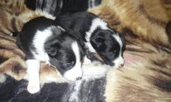 For sale pure bred Border Collie pups. There are 8 pups, 5 female, 3 males, 2 females have been sold. They are 3 weeks old ready to go Feb. 6th. $400.00 needled and dewormed with receipt. Willing to discuss price but must go to a good home. For more info