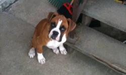 I have a 4 month old boxer for sale he loves kids, the wife says he needs to go so I'm looking for a good home for him This ad was posted with the Kijiji Classifieds app.