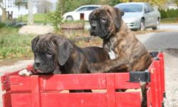 We have 2 male boxer puppies who are ready for new homes! They are vet checked, de-wormed, CKC'reg, and have received their first shots. If seriously interested and you would like to see them, please call us at 519 699 4393! Asking $1000 plus taxes,