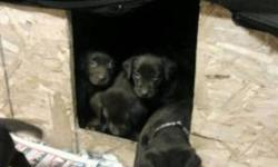 2 FEMALE & 1 MALE LEFT-Chocolate Lab Puppies healthy excellent temperment. Mom is CKC Reg.  Parents on site.  Ready to go Dec 17th will hold till Dec 24.  Will be Vet checked first needles and deworning.  $100 deposit required.  Serious inquiries only