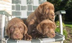 Pure bred chocolate lab puppy for sale. This  puppy is very healthy and dewormed their breed is well known smart with great temperament need to go to a good home  male left.$200..Call me at. 226 235 1293