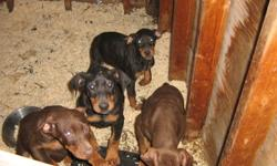 Pure Bred Doberman puppies for sale. 2 black females, 2 red males and 1 black male for sale. 8 weeks old as of December 3rd. Non-registered, great temperment and social pupppies needing a good home. Asking price 600.00. Please contact owner Dwayne via