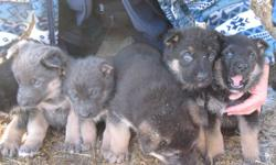 6 Beautiful German Shepard pups for sale 3 males (1x tan & blue, 2x black & tan/red)  3 females (1x tan & blue, 2x black & tan/red) These little cuties are just over 5 weeks old and will be ready for new homes at 8 weeks  (Jan. 5, 2012) The last picture