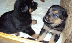 Born on a farm - beautiful puppies - mom is a pure bred beautiful and friendly German Shepherd - dad a pure bred big and beautiful enthusiastic  Bernese Mountain Dog - good with kids! The pups will have their first shots done before they leave our farm.