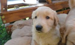 We have 7 beautiful golden retreiver puppies that are looking for a new home (6 males, 1 female).They will be ready to go to their new home in the next 2-3 weeks. They are very well loved and very well taken care off. They are fantastic with kids, older