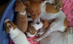 Puppies will be ready for homes December 23rd. These dogs are short haired, not hyper or barky, they are a very healthy breed. These dogs are very intelligent and love their families. Do some research on these amazing little dogs. Taking deposits now. We