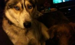 He is a well mannered 11 month old husky he's fixed has graduate puppy class as well obedience classes he's very big for his age loves to be out doors but loves to Cuddle he loves running This ad was posted with the Kijiji Classifieds app.