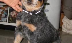 PURE BREED BLUE HEELER MALE   Perfectly marked, blue male, last of the litter Farm raised, Mother on site Looking for a good home, needs room to run They are herding dogs. Best companion dog you will ever find. Extremely loyal and willing   Pictured as of