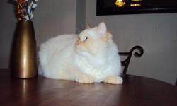 I have my cat -kitten that need a new home this cat is flame point himalayan rehoming due to Having 2 new puppys and they do not get along. He is a great breading cat flame point himalayan is hard to find. He is at the right time for breading he will