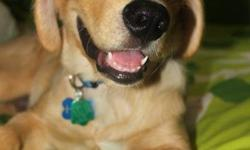 Hi, I have a almost 5-month old Pure Breed Golden Retriever for sale. He's been done all his shots & I have a certificate to prove and give it to you. Also, I'll give all the vet records. He's also registered in the Animal Society. He's been house