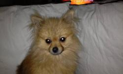 he's very loving and affectionate, only 8lbs. house trained, great with kids and other pets. please call 604.618.9101