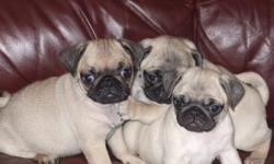 At this moment I have 5 pure breed pug puppies for sale. They are 8 weeks old and ready to go to their new homes, 4 females and 1 male. They have been to the vet for a health check, first shots, deworming and a chip. All 5 puppies are fawn with nice black