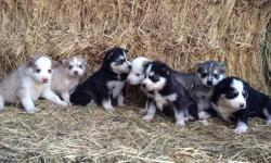 GREAT CHRISTMAS PRESENT! -7 Siberian husky Puppies for Sale!!! -5 puppies left!!! Picture 1 are the puppy's, they are listed from right to left of the picture. ....Black & White, Female ....Gray & White, Male (sold) ....Black & White, Female ....Gray with