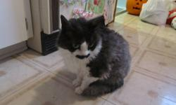 Hi   We have 2 male cats for adoption.  One is a 5 year old Devon Rex, and the other is a 7 year old Cornish Rex.  We have papers for both of them, and they are both healthy.  They have been indoor cats their entire life.  They are lap cats, and are very