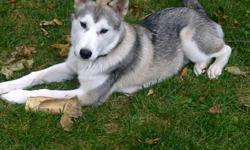 great family dog with lost of energy but well manered balto is a 5 month old huskey with all his shoots and traning he gets along great with all pets and children been exposed to pretty much everything at a young age i recently moved into the city and its