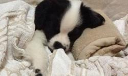 Pure male English springer puppy. Nine-ten weeks. Very cute and lovely puppy. Need to find a puppy lover family. Come with everything: pee pads, food, snack, bowl, toys, blanket, dog comb, nail cutter, garbage bags for dog's poo and rope. We also have two