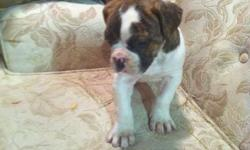 hello i have 2 female purebread american bulldog puppies for sale they come with their first shots and  deworming mom ad dad are both very well temperd and dosile dogs mom is on site we r asking 700.00 with no breeding rights