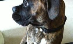 His Name is Stacks 6 month old male brindle boxer comes with first set of shots and a full bag of food i am moving because i am a student and i just dont have time for him im very sad to give him up but it has to happen i want him to go to a loving