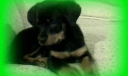I have a purebread male Rotti puppy for sale.  Great with kids and other pets.  Needs home ASAP.  Asking $400.  If interested please call Laura at 289-237-3122