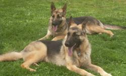 Hi, i have male and female german shephards,purebread both, black an tans 1half years old, she has had 1 litter 8 pups and is now coming in to season,puppies sold for $350 each,i have a list of ppl waiting for a puppy,from this per,we are moving to a