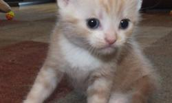 We have American Shorthair kittens for sale to approved homes. These kittens are known to be great family pets. Our kittens are raised in the house with our children, our dogs and our parrot. They are accustomed to regular household noises and have sturdy
