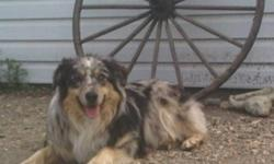 I have a one year old male purebred australian shepherd for sale. He is a blue merle. Very, Very smart well trained dog.  he is house trained, doesnt bark. good with cats, cats and other dogs.  I am moving and unfortunately cant take him with me. I have