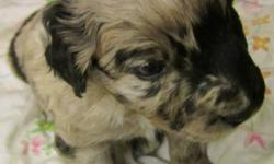 ASCA Registered Purebred Australian Shepherds.   Will be dewormed, first vaccinations, vet checked.   They make excellent family and/or working dogs.   They will be 8 weeks and ready to go on Decemeber 19th.   Check us out at http://www.ccandk.ca   Phone