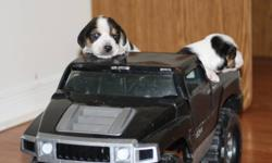 For Sale Purebred Beagle pups out of championship stock, can be registered with CKC. Pups are great with every member of the family as a pet or make great hunters. At 150.00 firm they will not last long. 2 males 1 female. Will make an ideal Christmas