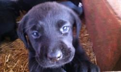 Purebred black lab puppies....Excellent temperments! All 1st set of shots and Parvo Vaccinations. Guaranteed health check, no history of ANY health issues, ie, hip dysplasia, heart murmurs, eyesight, hearing, etc. I have three registered Black Labs as my