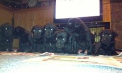 Cute, family raised black lab puppies. Vet checked, de-wormed and first needles. Ready to go home. Great family pet!  905-774-1363   This ad was posted with the Kijiji Classifieds app.