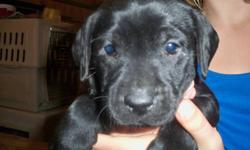 Only one little black male left. He has been raised in our home with children and other dogs. He is partially trained and a very sweet little guy. We have both parents. Dad is a purebred golden and mom is a purebred black. The parents are both good