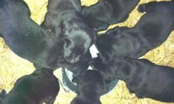 Purebred black lab puppies....Excellent temperments! All 1st set of shots and Parvo Vaccinations.  Guaranteed health check, no history of ANY health issues, ie, hip dysplasia, heart murmurs, eyesight, hearing, etc.  I have three registered Black Labs as