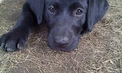 Purebred black lab pups! 14 wks old, CKC reg?d   4 females available from our latest litter of 10 pups! *Dewclaws are removed  *6 week, 10 week, and 14 week shots!   *De-worming  *Microchips implanted! *CKC registration  *One-year health guarantee  *A