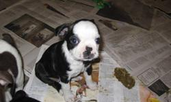 I have 5 boston terrier puppys 3 famale 2 male, i am asking 800 for the males and 900 for the females i am currently living in vernon but travel to vancouver every couple of weeks i can deliver in the vernon kelowna area and also to vancouver area they