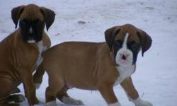 Boxing Week Only--Special Price $550.00.  Beautiful purebred boxers. Fawns and flashy fawns. Vet checked and in great health, tails docked, first shots, dewormer, and dew claws removed. Ready for their new homes. For more pics and info please email or